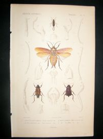 Cuvier C1840 Antique Hand Col Print. Insects 77
